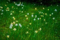 Цветене flowerin Daffodils на зеленом поле в лете Стоковое Фото