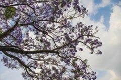 Цветене Jacaranda полностью, Индия стоковое фото rf