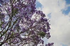 Цветене Jacaranda полностью, Индия стоковые фото
