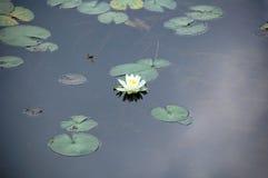 Цветене Lillypad Стоковая Фотография RF