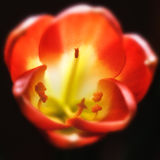Цветене miniata Clivia полностью Стоковое Фото