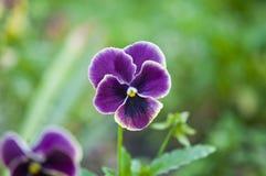 Цветене pansies цветка сирени Стоковые Фото