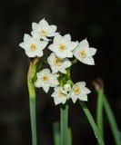 Paperwhites весной Стоковые Фотографии RF