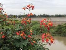 Цветене RiceField Стоковая Фотография RF