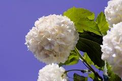 Цветение Snowball стоковые фотографии rf