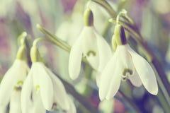 Цветене Snowdrop в весеннем времени в абстрактных цветах Стоковые Фото