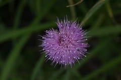 Цветене Thistle Стоковые Фото