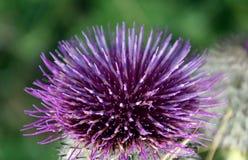Цветене Thistle Стоковое Фото
