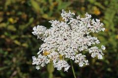 Цветене wildflower шнурка ` s ферзя Энн американское полностью Стоковое Изображение RF