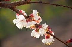 Цветение абрикоса весна предпосылки свежая Стоковые Фото