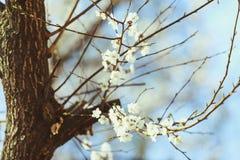 Цветение абрикоса весна предпосылки свежая Стоковое фото RF