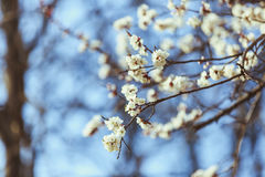 Цветение абрикоса весна предпосылки свежая Стоковое Изображение