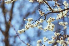 Цветение абрикоса весна предпосылки свежая Стоковые Изображения RF