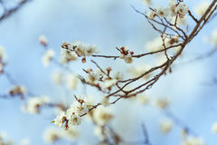 Цветение абрикоса весна предпосылки свежая Стоковое Фото