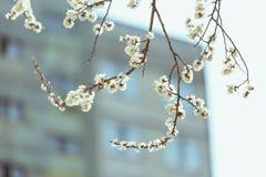 Цветение абрикоса весна предпосылки свежая Стоковая Фотография