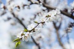 Цветение абрикоса весны в саде Стоковые Изображения