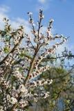 Цветение абрикоса весны в саде Стоковые Фото