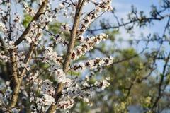 Цветение абрикоса весны в саде Стоковое фото RF