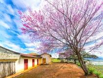 Цветение абрикоса вишневого дерева рядом с древним храмом 100 лет Стоковая Фотография