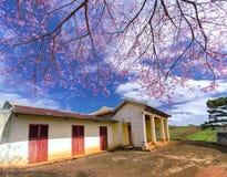 Цветение абрикоса вишневого дерева рядом с древним храмом 100 лет Стоковое Изображение