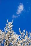 Цветение абрикоса Стоковое Изображение RF