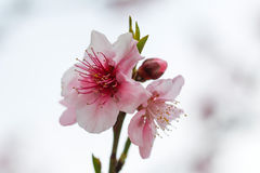 Цветение абрикоса Стоковые Фотографии RF