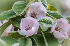 Цветение айвы или oblonga cydonia в весне стоковое изображение
