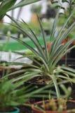 Цветение ананаса Стоковые Изображения RF