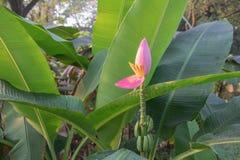 Цветение банана в пятне сада и лист причинено грибком стоковое изображение rf