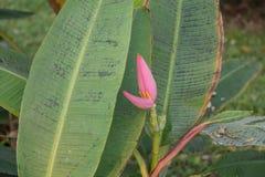 Цветение банана в пятне сада и лист причинено грибком стоковая фотография