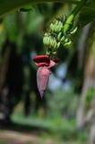 Цветение банана Стоковые Изображения RF