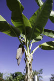 Цветение банана Стоковое Изображение RF