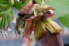 Цветение банана Стоковая Фотография RF