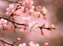 Цветение бегства sibirica Armeniaca (L.) Стоковое Изображение RF