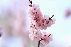 Цветение бегства sibirica Armeniaca (L.) Стоковая Фотография RF