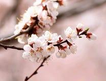 Цветение бегства sibirica Armeniaca (L.) Стоковые Изображения RF