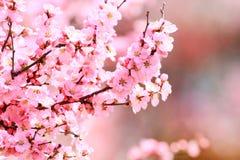 Цветение бегства sibirica Armeniaca (L.) Стоковые Фотографии RF