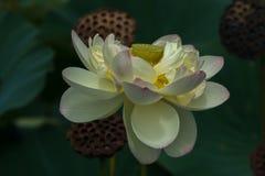 Цветение белого лотоса Стоковые Изображения RF
