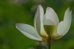 Цветение белого лотоса Стоковая Фотография RF