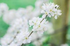 Цветение белой сливы красивое и милое крошечное стоковое фото rf