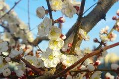 Цветение белизны весны Сезонное blossoming весеннее время дерева Стоковое Изображение RF