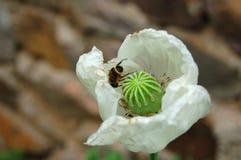 Цветение белого мака Стоковая Фотография RF