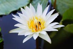 Цветение белого лотоса Стоковое Изображение