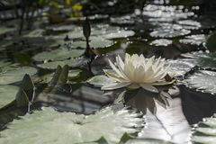 Цветение белого лотоса Стоковые Фотографии RF