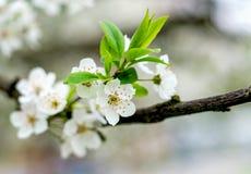 Цветение белого цветка вишневого дерева Стоковые Фото