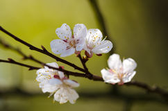 Цветение белых цветков на ветви фруктового дерев дерева Стоковое фото RF