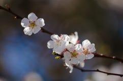 Цветение белых цветков на ветви фруктового дерев дерева Стоковое Изображение