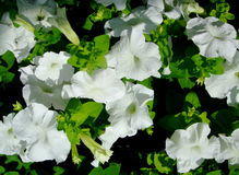 Цветение белых цветков среди зеленых цветов Стоковая Фотография