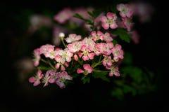 Цветение боярышника на темной предпосылке Стоковое Изображение RF