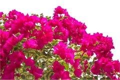 Цветение бугинвилии на белой предпосылке Стоковые Фотографии RF